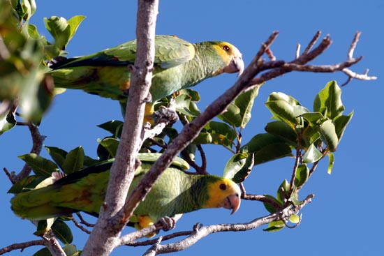 Perroquets.