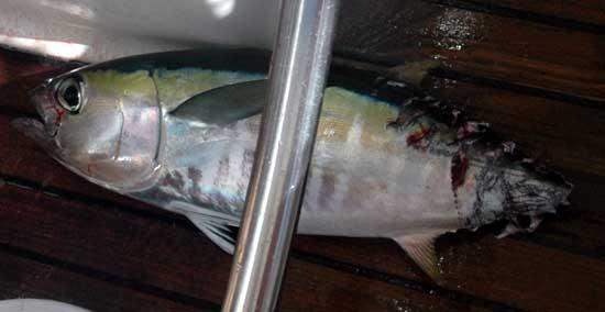 thon bouffé par requin