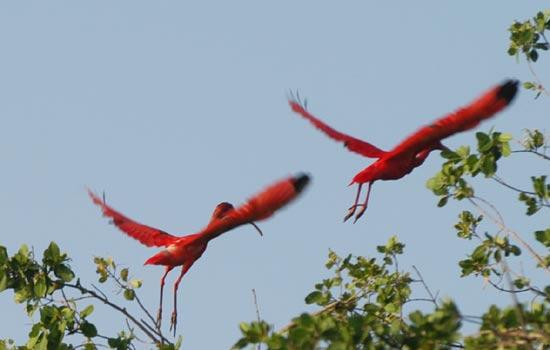 carenero ibis rouges