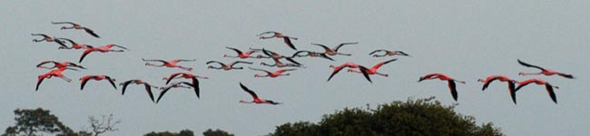 Ibis rouges Los roques Venezuela