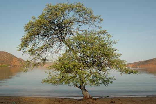 tigrillo arbre